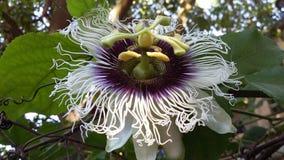 Maracuya flower fruit passiflora edulis. Maracuya is a tropical and amazing flower, and delicious fruit. Its scientific name is Passiflora Edulis royalty free stock images
