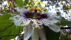 Maracuya flower fruit passiflora edulis. Maracuya is a tropical and amazing flower, and delicious fruit. Its scientific name is Passiflora Edulis stock photos