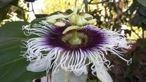 Maracuya flower fruit passiflora edulis. Maracuya is a tropical and amazing flower, and delicious fruit. Its scientific name is Passiflora Edulis stock image