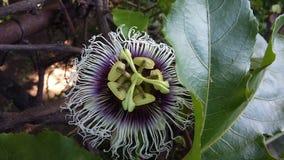 Maracuya flower fruit passiflora edulis. Maracuya is a tropical and amazing flower, and delicious fruit. Its scientific name is Passiflora Edulis stock photo