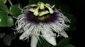 Maracuya flower fruit passiflora edulis. Maracuya is a tropical and amazing flower, and delicious fruit. Its scientific name is Passiflora Edulis royalty free stock photos