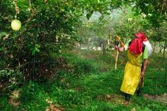 Maracuya plantation fumigating Stock Photo