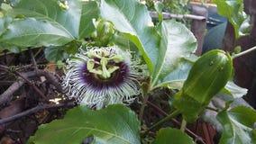 Maracuya flower fruit passiflora edulis. Maracuya is a tropical and amazing flower, and delicious fruit. Its scientific name is Passiflora Edulis royalty free stock photo