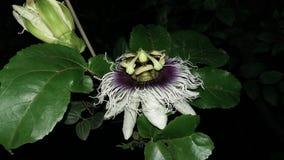 Maracuya flower fruit passiflora edulis. Maracuya is a tropical and amazing flower, and delicious fruit. Its scientific name is Passiflora Edulis stock photography