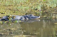 Marais d'alligator Photographie stock