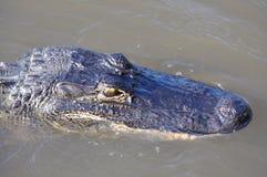 Marais d'alligator Images stock