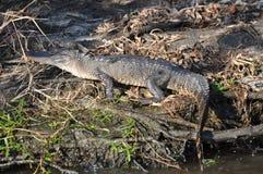 Marais d'alligator Photo stock