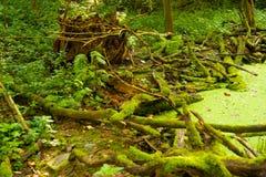 Marais dans la forêt dans la jungle Photographie stock libre de droits