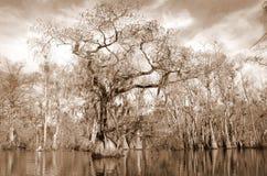 Marais de Cypres Image stock