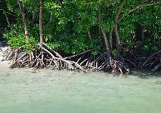 Marais de palétuvier avec de l'eau bleu clair chez Ile Cerfs aux., Îles Maurice Image libre de droits