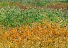 Marais de roseaux Image stock