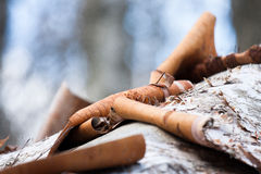 Marais de workin de castor de bouleau blanc Images stock