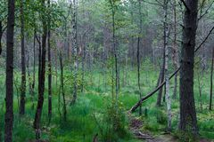 Marais en Lithuanie avec l'herbe verte et arbre à l'arrière-plan Photographie stock libre de droits