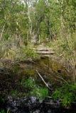 Marais et croissance embrouillée sur Hilton Head Island Images libres de droits