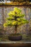Marais mis en pot d'affichage de Tableau de petites de bonsaïs d'arbre de vert branches de feuilles Images stock