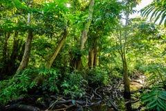 Marais naturel de forêt de pterocarpus à Puerto Rico photos libres de droits