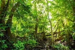 Marais naturel de forêt de pterocarpus à Puerto Rico image stock