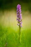 Marais-orchidée tôt (incarnata de Dactylorhiza) images stock