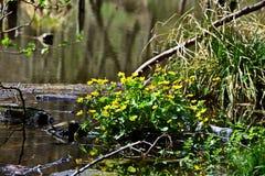 Marais-souci - palustris de Caltha dans le Bakony Photo stock
