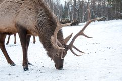 Maral A large Siberian deer with big. Horns in winter on a farm royalty free stock image
