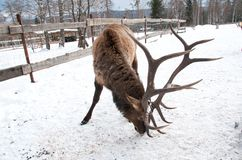 Maral A large Siberian deer with big. Horns in winter on a farm stock image