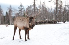 Maral A large Siberian deer with big. Horns in winter on a farm stock photography