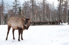 Maral A large Siberian deer with big. Horns in winter on a farm stock images