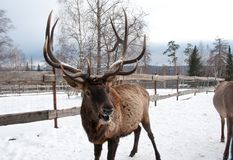 Maral A large Siberian deer with big. Horns in winter on a farm royalty free stock photos