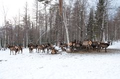 Maral A large Siberian deer with big. Horns in winter on a farm royalty free stock photography
