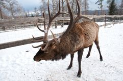 Maral A large Siberian deer with big. Horns in winter on a farm royalty free stock images