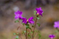 Μόλις ανθίζοντας λουλούδια του άγριου δεντρολιβάνου maralnik στην τοπική διάλεκτο σε Altai στοκ εικόνες με δικαίωμα ελεύθερης χρήσης