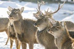 Marals dans Kazakhstan Images stock