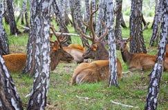 Marals domestici dei cervi sull'azienda agricola in Siberia Immagine Stock Libera da Diritti