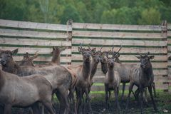 Marals on farm in Altay. Domesticated deers marals on farm in Altay royalty free stock images