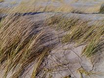 Maram grass in the dunes of the Netherlands Stock Images