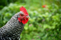 Maran Rooster Royalty Free Stock Images