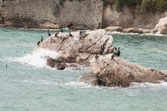 Marangoni - European Shags Royalty Free Stock Photo