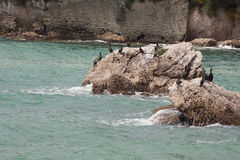 Marangoni - European Shags Stock Photography