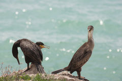 Marangoni - European Shags Royalty Free Stock Images
