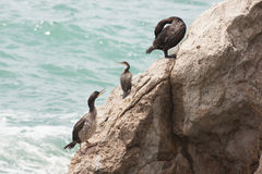Marangoni - European Shags Stock Image
