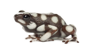 Maranon Poison Frog or Rana Venenosa Stock Photography