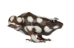 Maranon Poison Frog or Rana Venenosa Royalty Free Stock Photo
