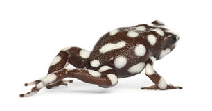 Maranon Poison Frog or Rana Venenosa Royalty Free Stock Images