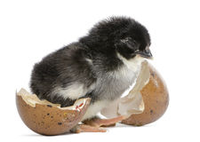 Marans chick, 15 hours old, standing Royalty Free Stock Images