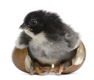 Marans chick, 15 hours old, standing in the egg Royalty Free Stock Photography