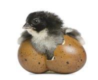 Marans fågelunge, 15 gammala timmar, standing i ägget Royaltyfria Bilder