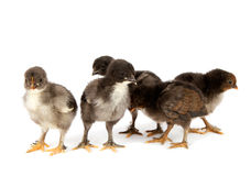 Marans. Five black chickens or chicks  from Marans breed,Poule de Marans over white background Royalty Free Stock Photos