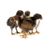 Marans. Five black chickens or chicks  from Marans breed,Poule de Marans over white background Stock Photos