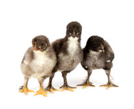 Marans. Three black chickens or chicks  from Marans breed,Poule de Marans over white background Stock Photos