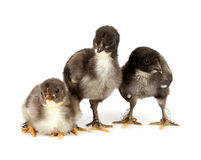 Marans. Three black chickens or chicks  from Marans breed,Poule de Marans over white background Stock Image